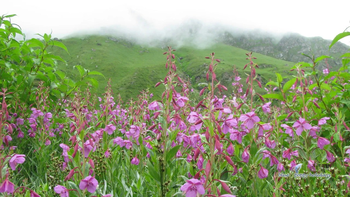 Valley of flowers in July month