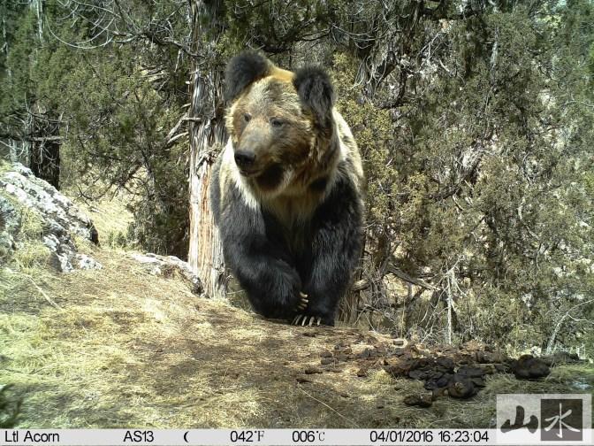 brown bear camera trap