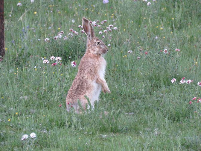 2016-07-14 Woolly Hare, Qinghai1
