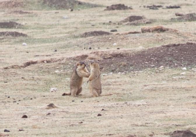 2013-05-01 Himalayan Marmots