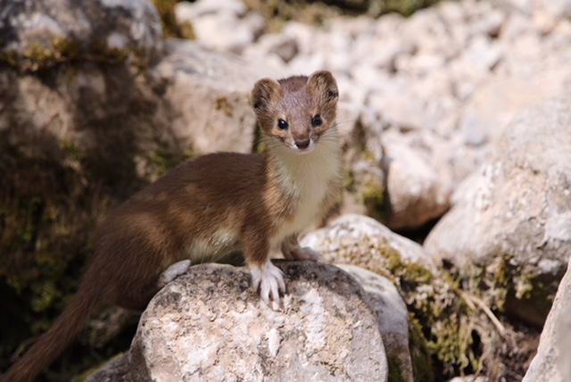 Mountain Weasel by Zeng Xiangle