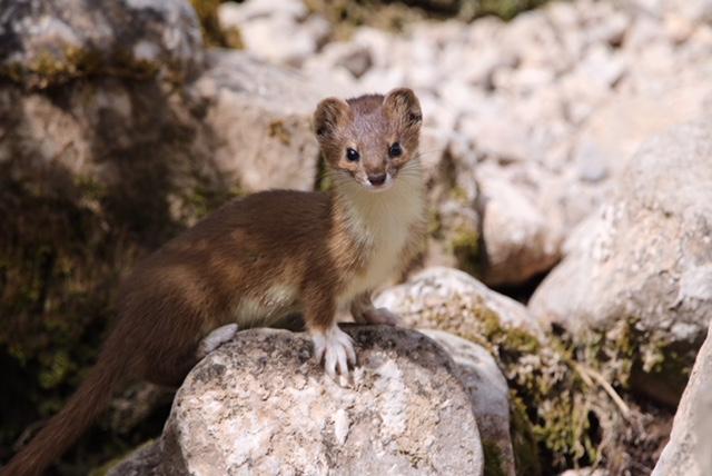 Mountain Weasel by Zeng Xiangle