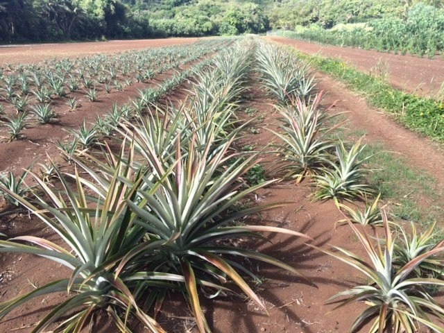 harvest, pineapples, sustainable farming, eggplants, papaya, produce, environmental care