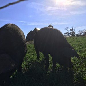 pastured hogs