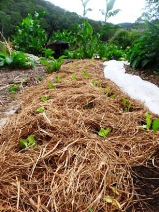 Dense planting