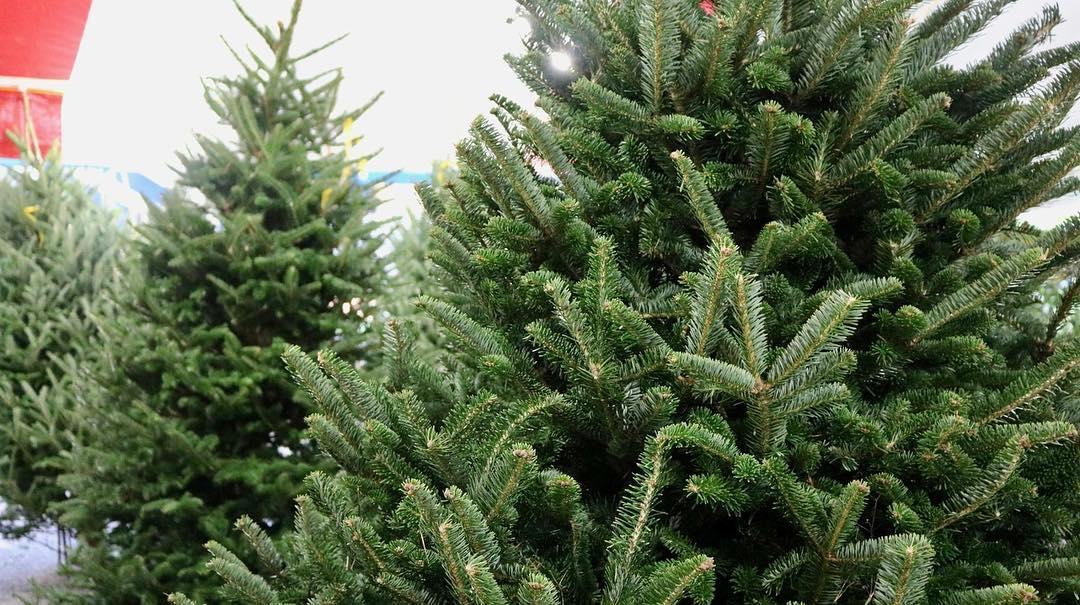 Casa GRande Christmas TRees