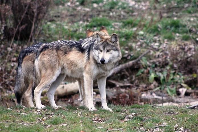 El lobo mexicano lucha por sobrevivir