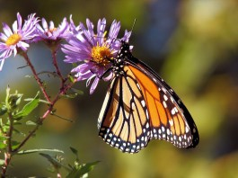 Mariposa monarca ¿en peligro de extinción?