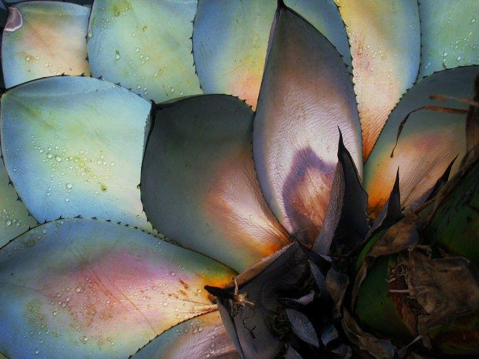 Un agave sostenible: 'Mezcal Los Silvestres'