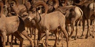 CEMEX refuerza compromiso de conservación con liberación del borrego cimarrón