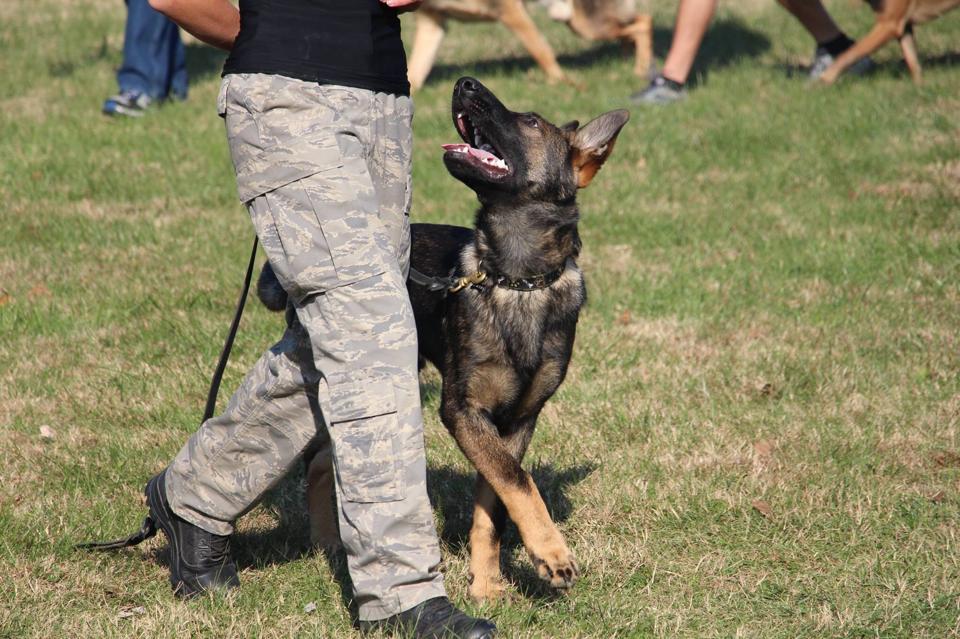 walking german shepherd puppy boise greenbelt idaho