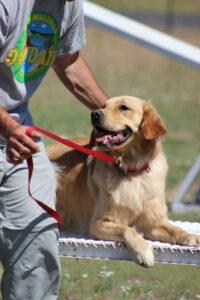 Golden retriever service dog training