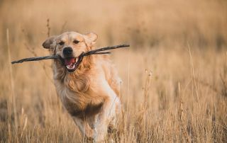 breeder Golden Retriever playing