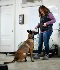 Belgian Malinins obedience training