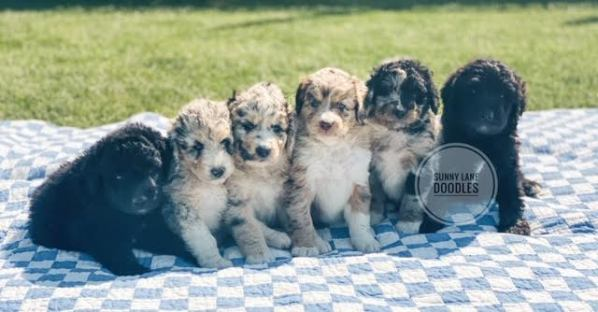 doodle puppies in Idaho