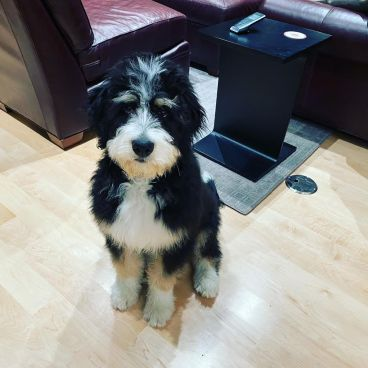 bernedoodle puppy in idaho