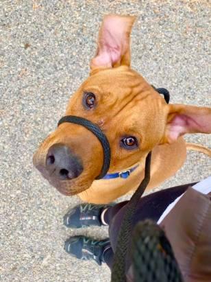 rottweiler boise adoptable dogs