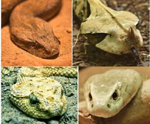 Venomous snake heads