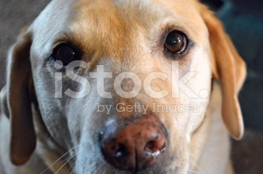 Yellow Lab royalty-free stock photo