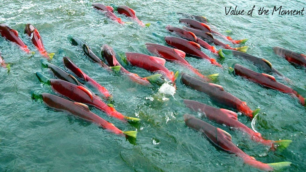 Salmons are spawning, Kamchatka, Russia