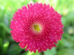 Bellis perrenis