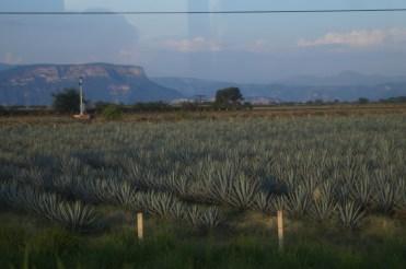 Ein Agavenfeld in der Nähe von Tequila, Jalisco.