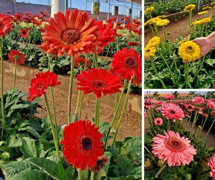 como visitar os campos de flores de holambra, campos de gerberas de holambra, gérbera