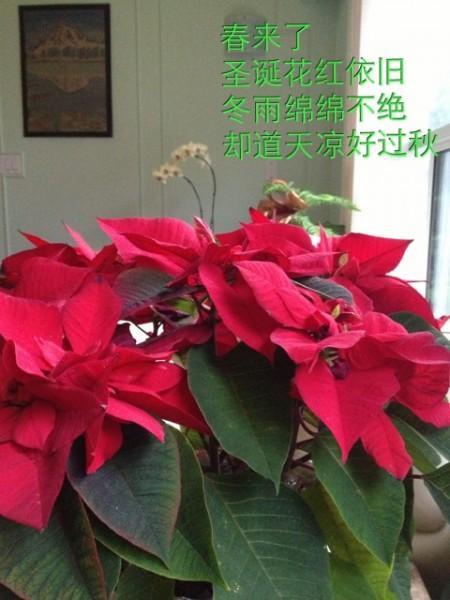 圣诞花红依旧
