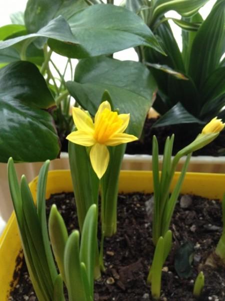黄水仙便抢先开花