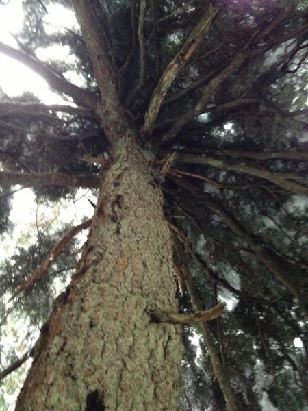 树冠上是厚厚的积雪。
