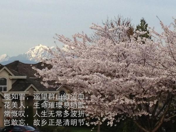 清明樱花节有感