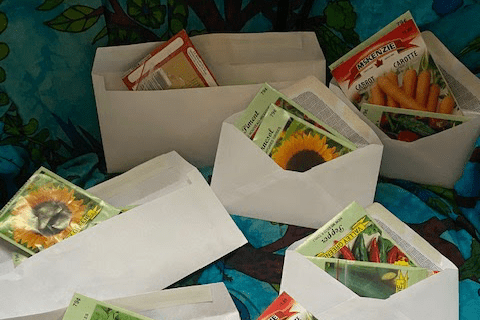 An image of seed packets in unsealed envelopes, ready to be sent