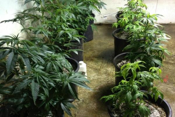 Ormus Treated Cannabis vs Non-Treated Cannabis