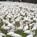 Close up of Snow Geese