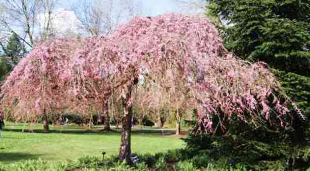 VanDusen Cherry Blossoms
