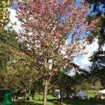 Sakura Days Cherry Tree
