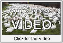 Snow Geese Video