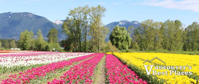Tulips of the Valley