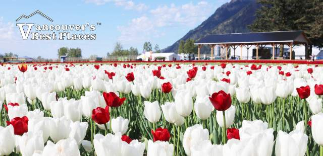 Red and White Tulips of the Valley