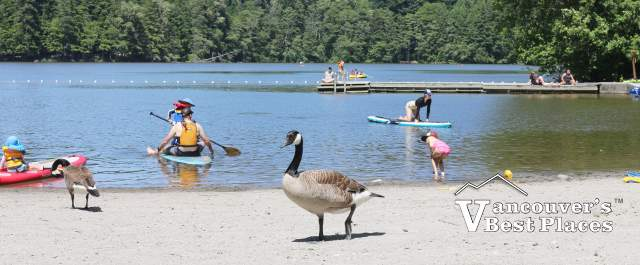 Geese at Alice Lake Beach