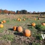 Aldor Acres Pumpkin Patch