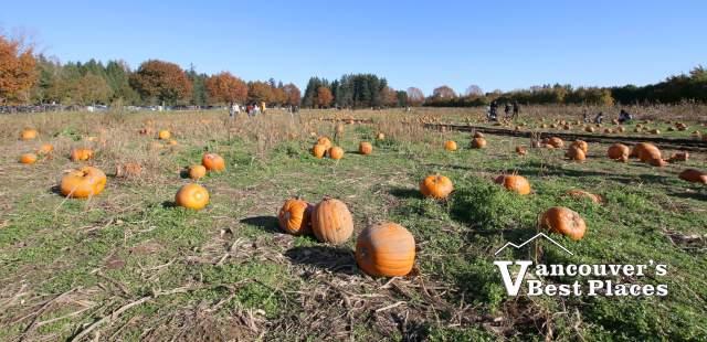 Aldor Acres Pumpkin Field in Langley