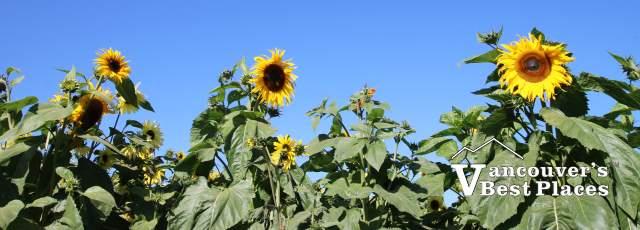 Richmond Sunflower Festival