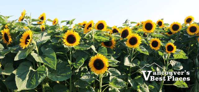 Chilliwack Festival Sunflowers