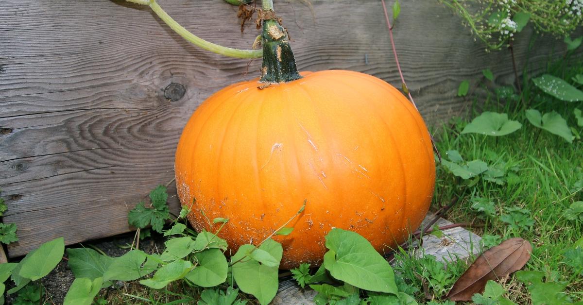Bose Farms Pumpkin Patch