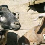 Maan Farms Petting Zoo Animals