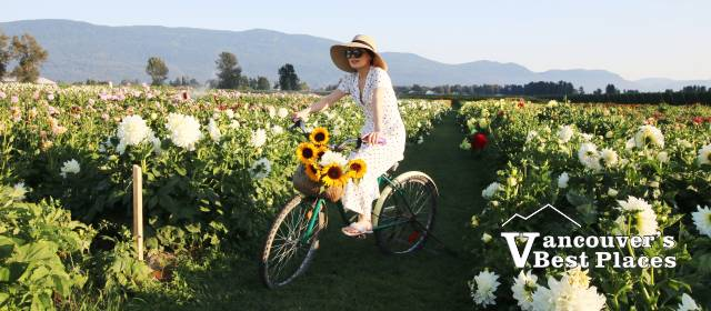 Sunflower Festival Bicycle Photo Opportunities