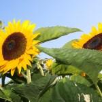 Sunflowers in the Sun (FB)