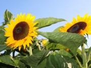 Vancouver Sunflower Festivals