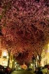 Blooming Cherry Trees - Bonn, Germany